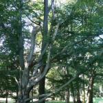 Jeden z nejěvtších stromů v parku