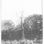 zamecky park - mrtvy sekvojovec 2